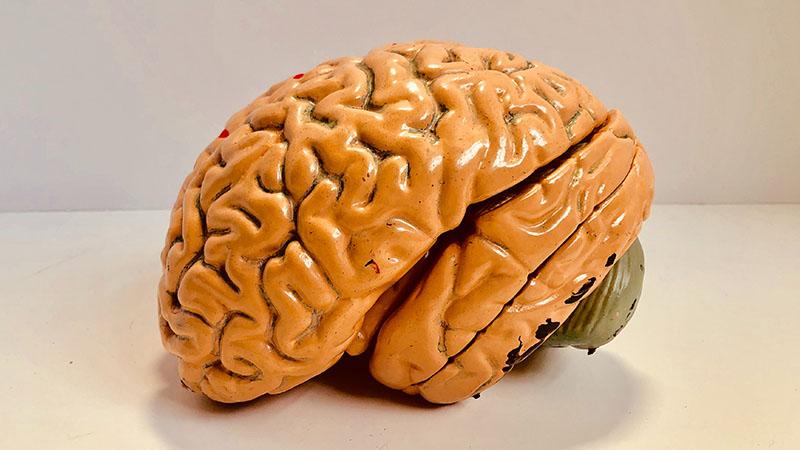 Taille du cerveau et intelligence sont fortement liées
