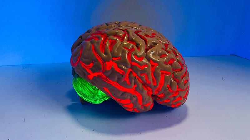 La taille du cerveau est significativement génétique